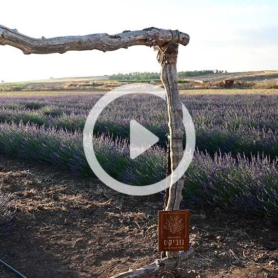 שדה לבנדר בשעל, רמת הגולן, השבוע